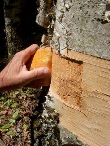 Testing bark quality