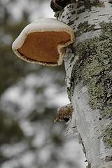Fungal growth on birch: Jim Frazier photo