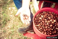 Fruit (seed) ready for direct seeding. Photo by Brian Lockhart, USDA Forest Service. Click for original.