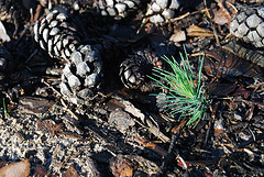 Jack pine seedling and cones near Baudette MN