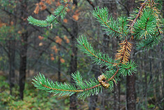 Jack pine needles about to drop in fall. Esagor photo.