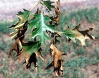 Oak wilt on red oak foliage, J. O'Brien photo