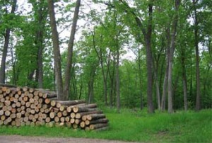 Hardwood logpile in stand